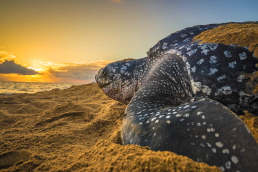 HMS2608761 French Guiana, Cayenne, Gosselin beach, female leatherback turtle (Dermochelys coriacea) nesting in the morning