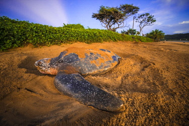 HMS2608776 French Guiana, Cayenne, Remire-Montjoly beach, female leatherback turtle (Dermochelys coriacea) nesting in the morning