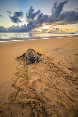 HMS2608795 French Guiana, Cayenne, Remire-Montjoly beach, return to the Atlantic Ocean of a female leatherback turtle (Dermochelys coriacea) after nesting in the early morning
