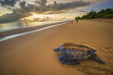 HMS2608796 French Guiana, Cayenne, Remire-Montjoly beach, return to the Atlantic Ocean of a female leatherback turtle (Dermochelys coriacea) after nesting in the early morning