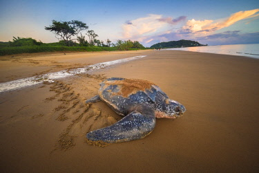 HMS2608798 French Guiana, Cayenne, Remire-Montjoly beach, return to the Atlantic Ocean of a female leatherback turtle (Dermochelys coriacea) after nesting in the early morning