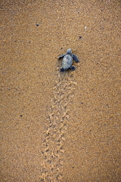 HMS2608821 French Guiana, Cayenne, Remire-Montjoly beach, olive Ridley juvenile turtle (Lepidochelys olivacea) leaving the nest to reach the ocean in the early morning
