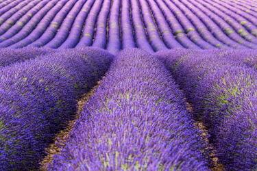 FRA10117AW Lavender fields, Provence, France
