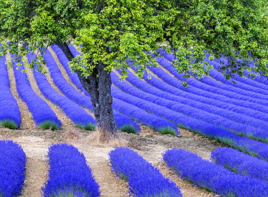 FRA10118AW Tree and lavender, Provence, France