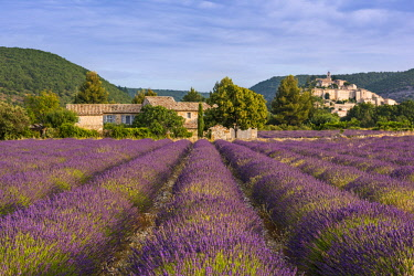 FRA10123AW Lavender field near hilltop village of Banon, Provence, France