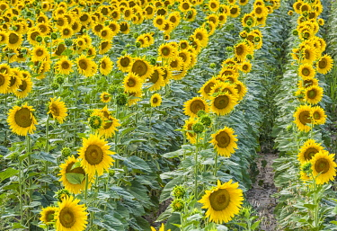 FRA10128AW A field of sunflowers, Provence, France