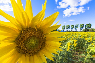 FRA10129AW A field of sunflowers, Provence, France