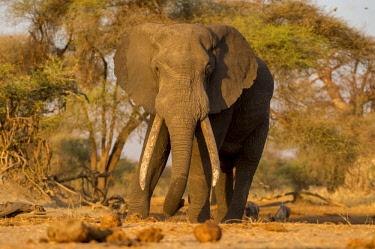 TZ02268 Male bull African elephant walking in the setting sun, Serengeti, Tanzania