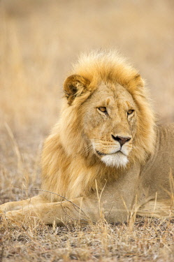 TZ02273 A large male lion looking away, Serengeti Grumeti, Tanzania, Africa