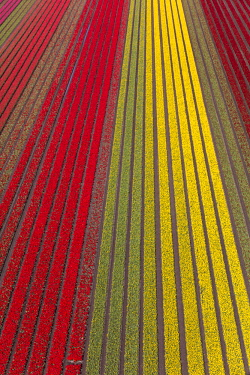 NL02351 Aerial view of the tulip fields in North Holland, The Netherlands