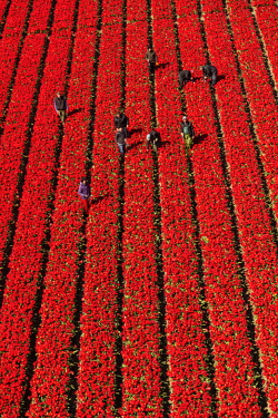 NL02359 Aerial view of the tulip fields in North Holland, The Netherlands