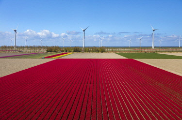 NL02361 Aerial view of the tulip fields in North Holland, The Netherlands