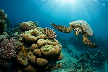 IBLAIC03765433 Green Turtle (Chelonia mydas), Red Sea, Marsa Alam, Egypt, Africa