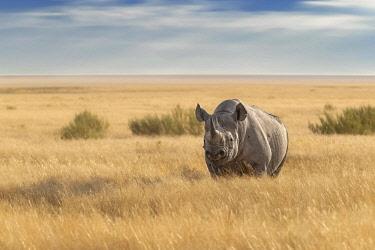 IBLAMO04118473 Black Rhinoceros (Diceros bicornis) standing in grassland, Etosha National Park, Namibia, Africa