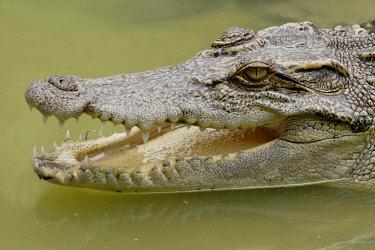 IBLARO00260291 Siamese crocodile, Khao Yai, National Park, Thailand, Asia