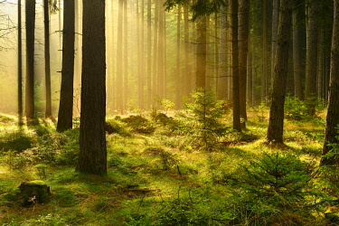 IBLAVI03969763 Morning sun breaking through misty spruce forest, Thuringia, Germany, Europe