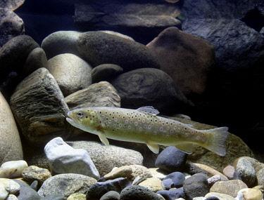 IBLCHG03944799 Brown Trout (Salmo trutta fario), captive