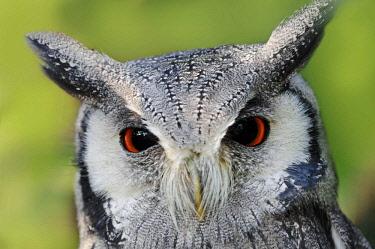 IBLCHT02385049 Northern White-faced Owl or White-faced Scops-Owl (Ptilopsis leucotis, Otus leucotis), portrait, native to Africa, in captivity, Netherlands, Europe
