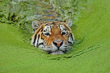 IBLCHT02385056 Siberian Tiger or Amur Tiger (Panthera tigris altaica) in water, native to Asia, in captivity, Germany, Europe