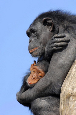IBLCHT02385060 Chimpanzee (Pan troglodytes), female with young, native to Africa, in captivity, Netherlands, Europe