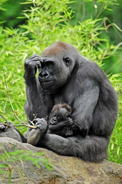 IBLCHT02385464 Western Lowland Gorilla (Gorilla gorilla gorilla), female with young, native to Africa, in captivity, Netherlands, Europe