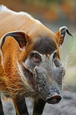 IBLCHT02385485 Red River Hog or African Bush Pig (Potamochoerus porcus pictus), native to Cameroon, Africa, in captivity, Germany, Europe