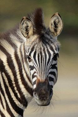 IBLCHT03062050 Chapman's zebra (Equus quagga chapmani, Equus burchellii chapmani), portrait, native to Zimbabwe, Botswana and Zambia, captive, The Netherlands, Europe