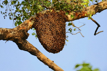 IBLCHT03683496 Bees nest of the Giant Honey Bee (Apis dorsata) in a tree, Keoladeo National Park, Bharatpur, Rajasthan, India, Asia