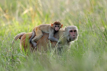 IBLCHT03684148 Rhesus Macaque or Rhesus Monkey (Macaca mulatta), female carrying an infant on her back, Keoladeo National Park, Bharatpur, Rajasthan, India, Asia