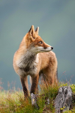 IBLFOX03583877 Red Fox (Vulpes vulpes) standing on an alpine meadow, looking sideways, Tyrolean Unterland, Tyrol, Austria, Europe