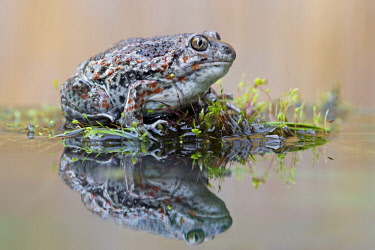 IBLHIN03999566 Spadefoot (Pelobates fuscus), reflection, seepage water, Middle Elbe, Saxony-Anhalt, Germany, Europe