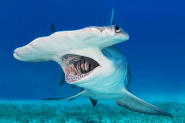 IBLMIW04107183 Great hammerhead shark (Sphyrna mokarran) Bimini, Bahamas, Central America