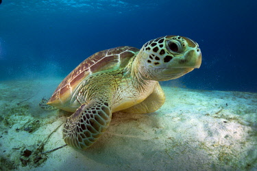 IBLMMX02454447 Green Sea Turtle (Chelonia mydas), Balnek, Busuanga, Philippines, Asia