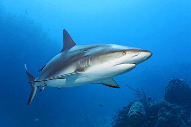 IBLNPR02231460 Caribbean reef shark (Carcharhinus perezi), swimming in open water above a coral reef, Republic of Cuba, Caribbean, Central America