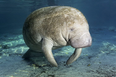 IBLNPR04141667 West Indian manatee or sea cow (Trichechus manatus), Three Sisters Springs, Manatee Reserve, Crystal River, Florida, USA, North America