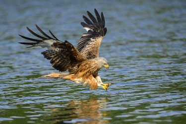 IBLRHE03108964 Red Kite (Milvus milvus) shortly before catching a fish in the water, Feldberg Lake District, Mecklenburgische Seenplatte, Mecklenburg-Western Pomerania, Germany, Europe