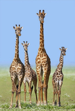 IBLUSK03522671 Herd of Giraffes (Giraffa camelopardalis) with calves, Serengeti, Tanzania, Africa