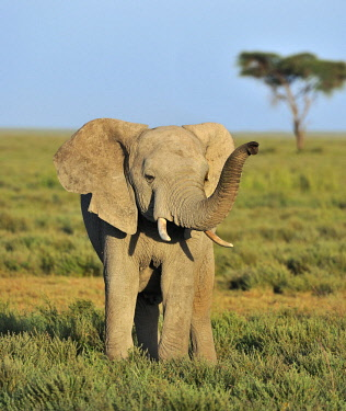 IBLUSK03529847 Young African Bush Elephant (Loxodonta africana) in the savannah landscape, Serengeti, Tanzania, Africa