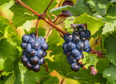 ARG2522AW Grapes on the Vineyard of the Salentein Winery, Tunuyan Department, Mendoza Province, Argentina