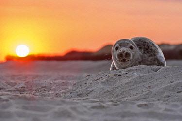 IBLHIN04034614 Seal (Phoca vitulina), young, sunrise, UNESCO World Heritage Site, North Sea, Heligoland, Schleswig-Holstein, Germany, Europe