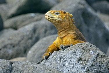 IBLHMW04122001 Galapagos land iguana (Conolophus subcristatus), North Seymour Island, Galapagos, Ecuador, South America