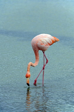 IBLISB02352662 American Flamingo (Phoenicopterus ruber), Santa Cruz Island, Galapagos Islands, UNESCO World Natural Heritage Site, Ecuador, South America