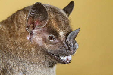 IBLIVK02137555 Common, Jamaican, or Mexican fruit bat (Artibeus jamaicensis), portrait, Puerto Viejo, Costa Rica, Central America