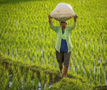 IBLKIP03869288 Woman carrying rice in the rice fields, Ubud region, Bali, Indonesia, Asia