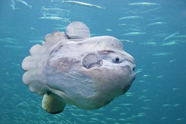 IBLNIP01955002 Ocean sunfish (Mola mola), Hirtshals, Northern Jutland, Denmark, Europe