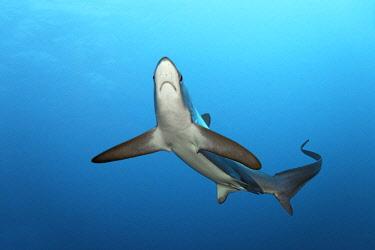 IBLNPR03158490 Common Thresher Shark (Alopias vulpinus), floating, Big Brother Island, Egypt, Africa