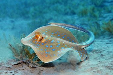 IBLNPR03954362 Bluespotted ribbontail ray (Taeniura lymma), Makadi Bay, Red Sea, Hurghada, Egypt, Africa