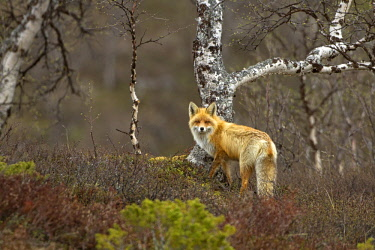IBLRMU02420878 Red Fox (Vulpes vulpes), Jaemtland Laen County, Sweden, Europe