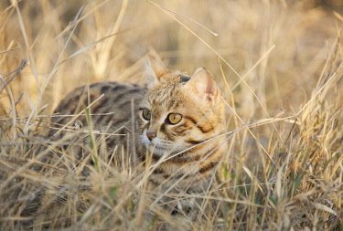 Black-footed Cat (Felis nigripes), listed as vulnerable species, captive, Harnas Wildlife Foundation, Namibia, Africa