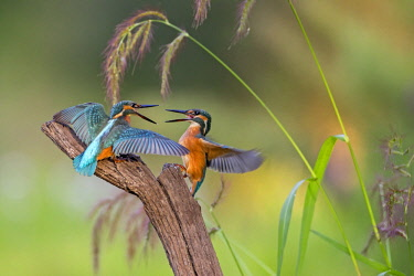 IBLTHI04064037 Kingfishers (Alcedo atthis), figting young birds,  territorial fight, morning light, Middle Elbe Biosphere Reserve, Saxony-Anhalt, Germany, Europe